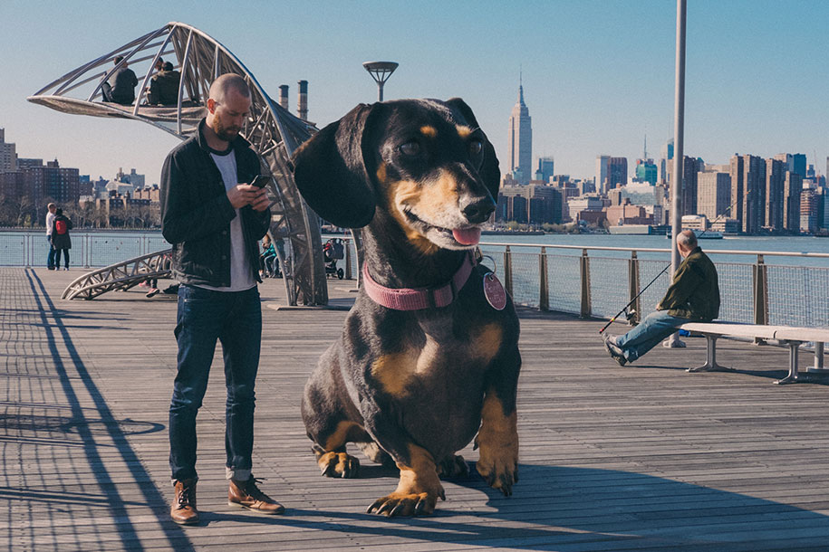 vivian-dachshund-giant-wiener-dog-photoshop-mitch-boyer-4