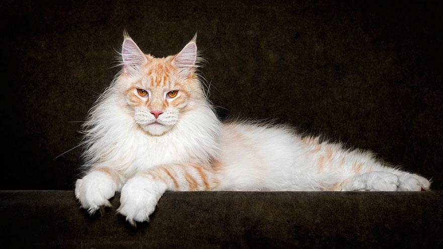 biggest-maine-coon-cat-photography-robert-sijka-10