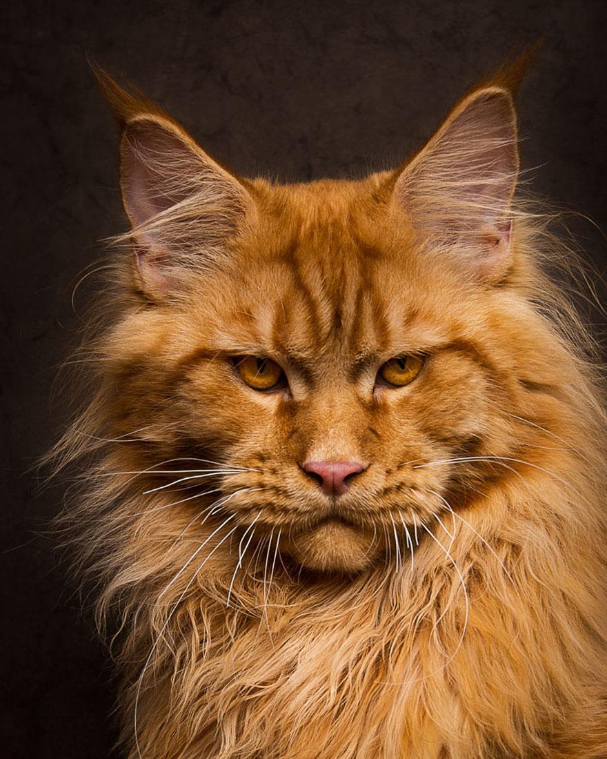 biggest-maine-coon-cat-photography-robert-sijka-11