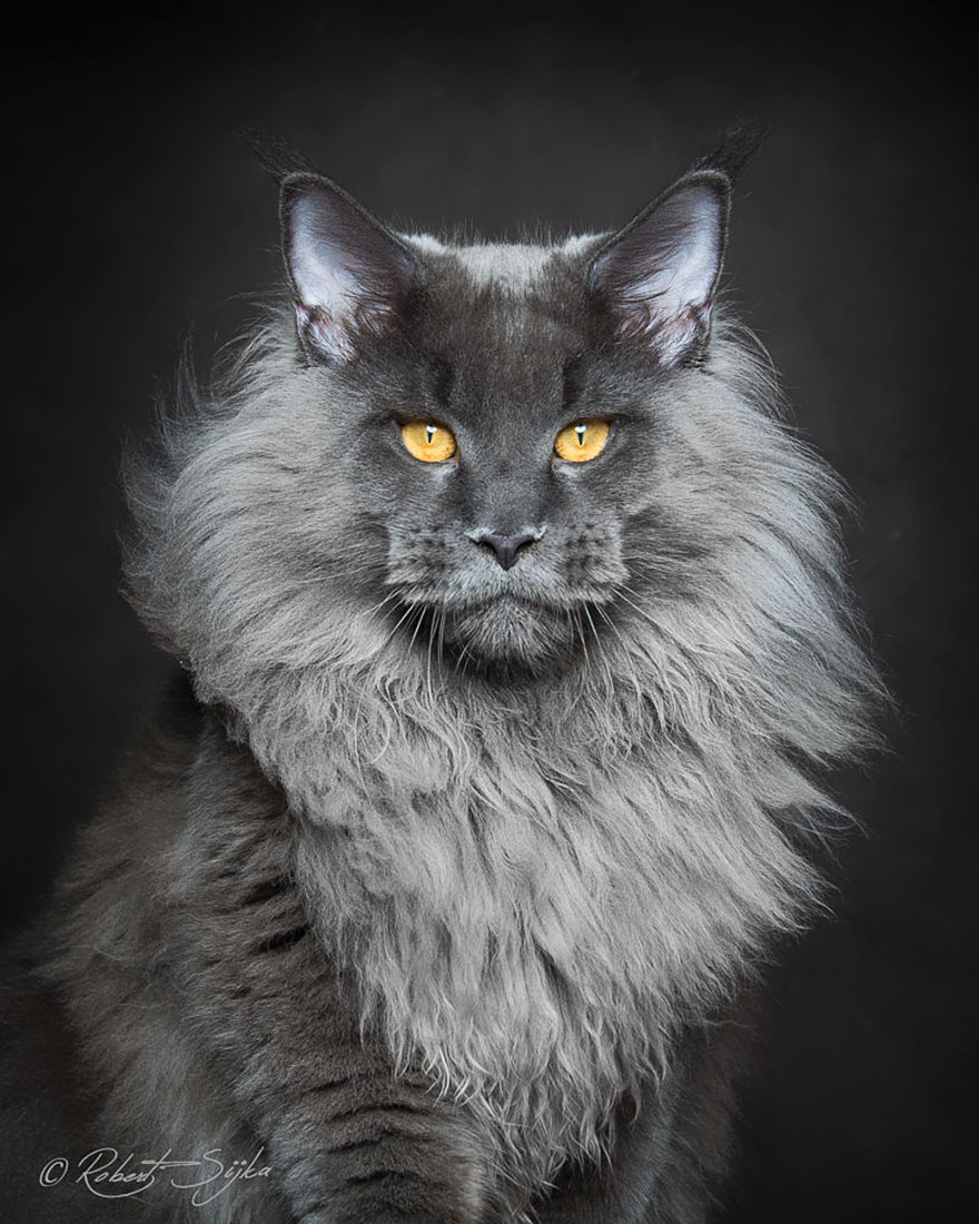 biggest-maine-coon-cat-photography-robert-sijka-12