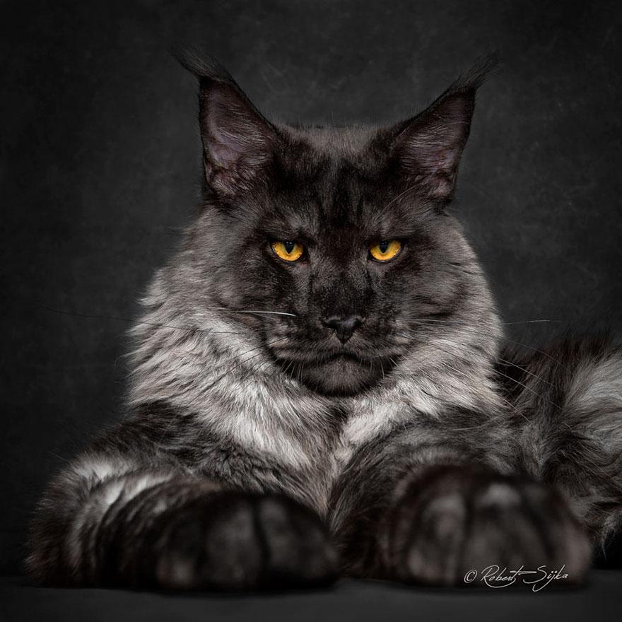 biggest-maine-coon-cat-photography-robert-sijka-13