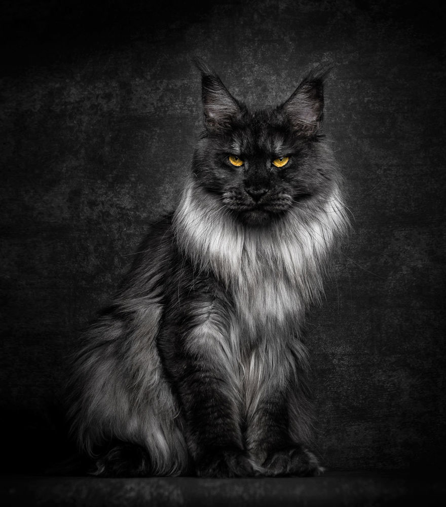 biggest-maine-coon-cat-photography-robert-sijka-2