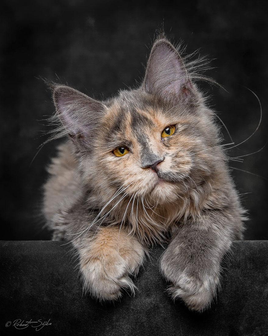 biggest-maine-coon-cat-photography-robert-sijka-3