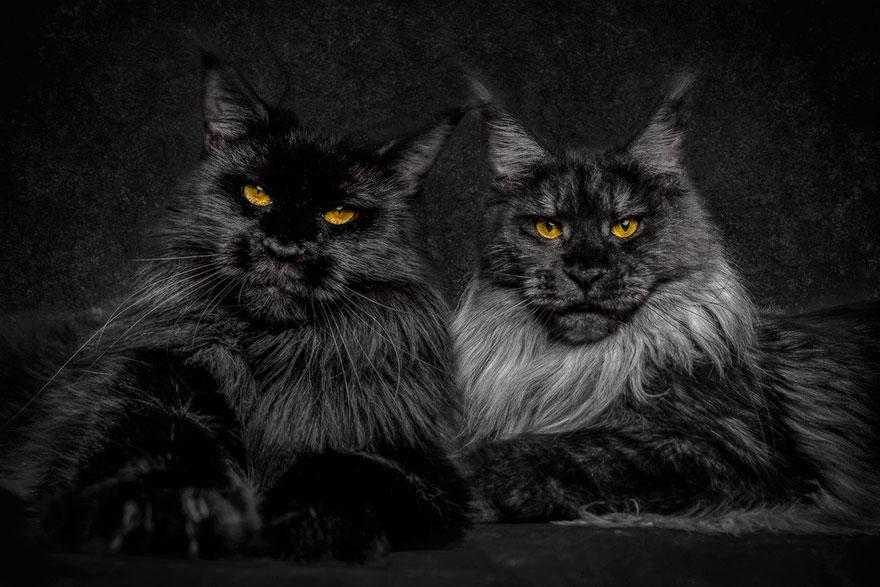 biggest-maine-coon-cat-photography-robert-sijka-4