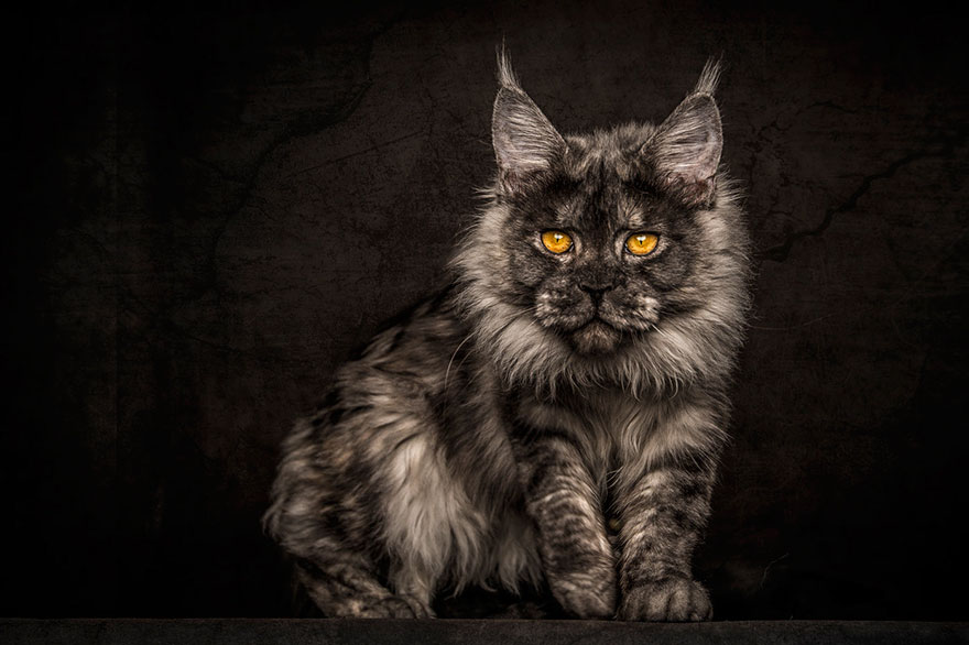 biggest-maine-coon-cat-photography-robert-sijka-6
