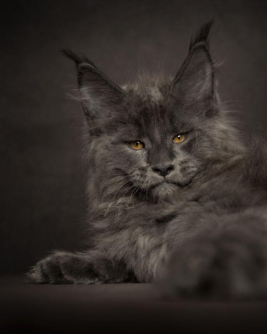 biggest-maine-coon-cat-photography-robert-sijka-8