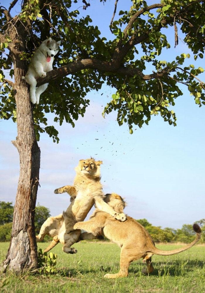husky-puppy-tree-photoshop-battle-5