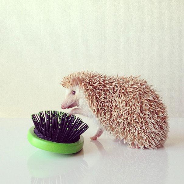 Meet Darcy The Adorable Internet Celebrity Hedgehog - Darcy cutest hedgehog ever