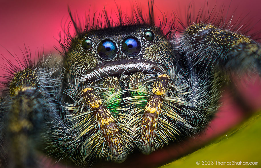 jumping-spiders-macr