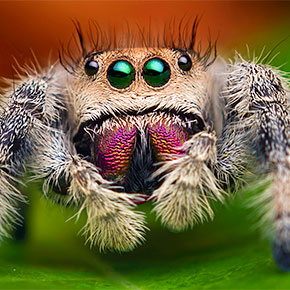Stunning Macro Photos Of Jumping Spiders by Thomas Shahan