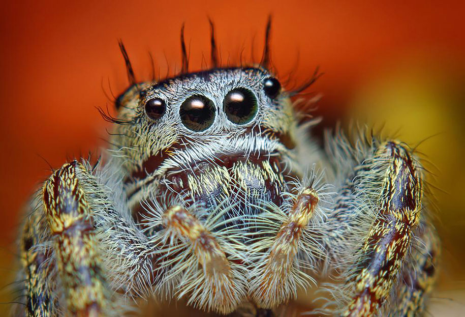Stunning Macro Photos Of Jumping Spiders By Thomas Shahan