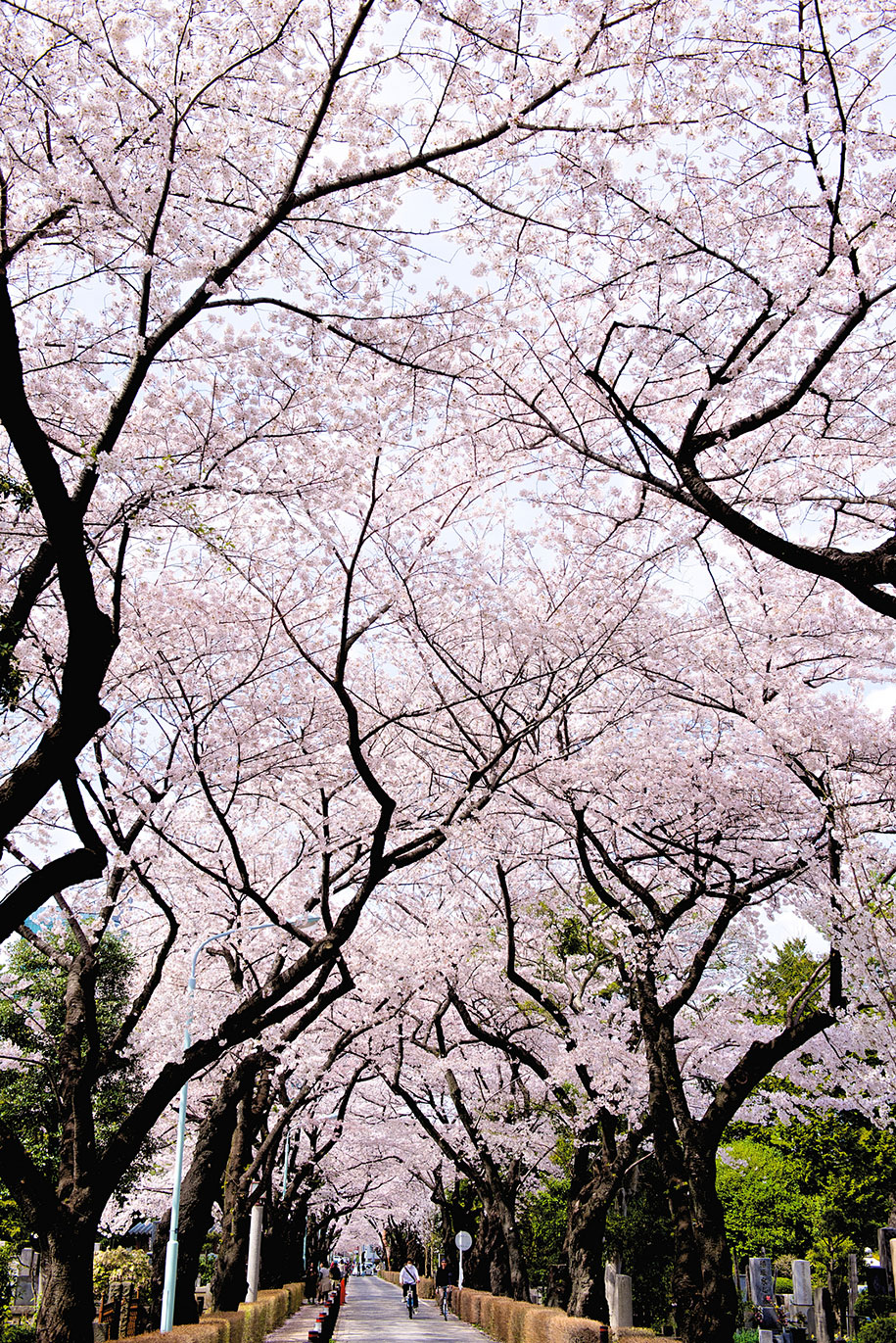 20 Of The Best Pictures Of This Year S Japanese Cherry Blossoms