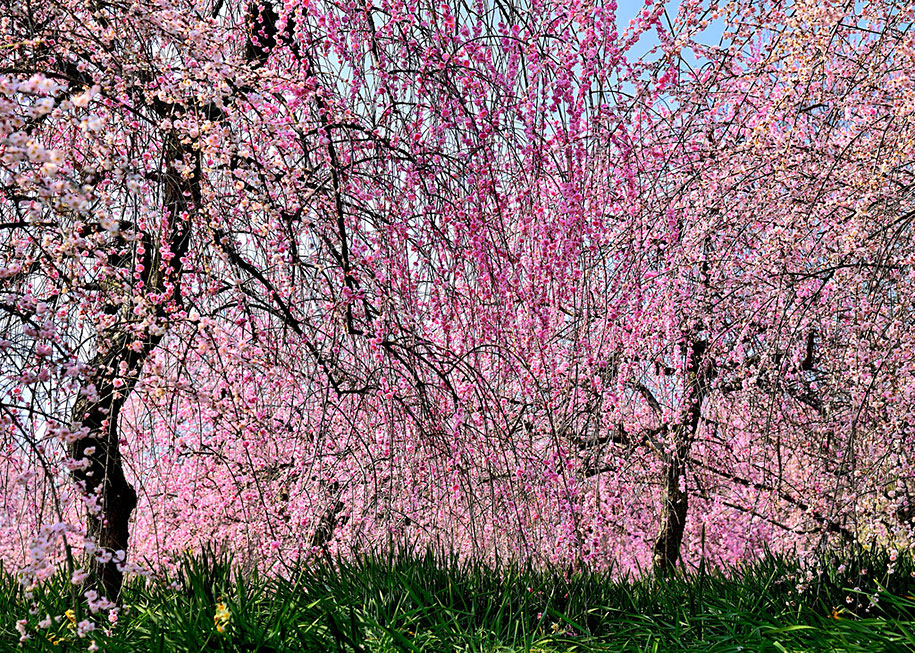The Best Pictures Of This Year S Japanese Cherry Blossoms