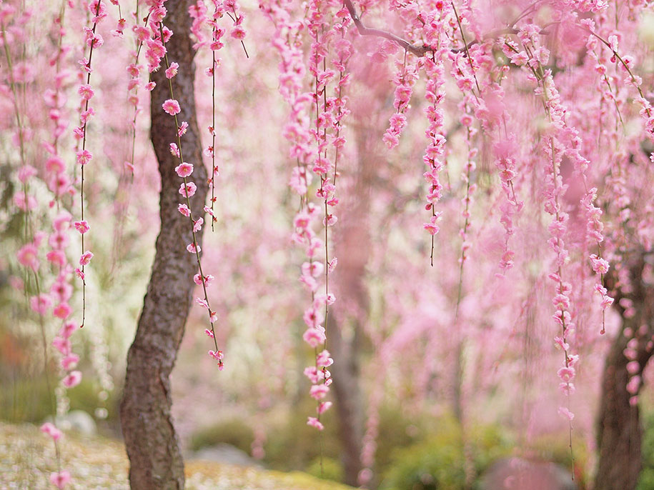 20 of the best pictures of this year s japanese cherry Cherry blossom pictures