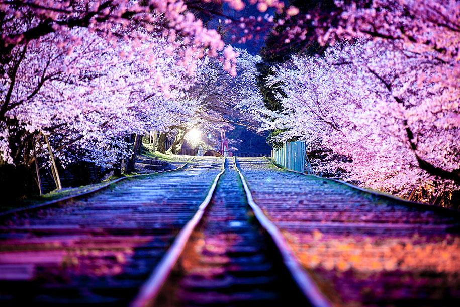 [Resim: 2014-japanese-cherry-blossom-blooming-sakura-26.jpg]