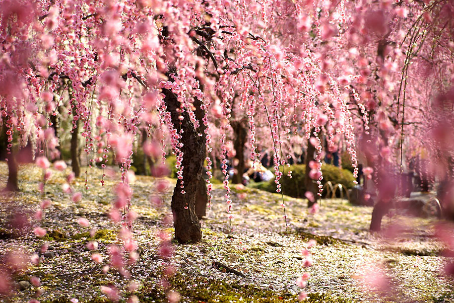 20 of the best pictures of this year s japanese cherry Japanese cherry blossom tree
