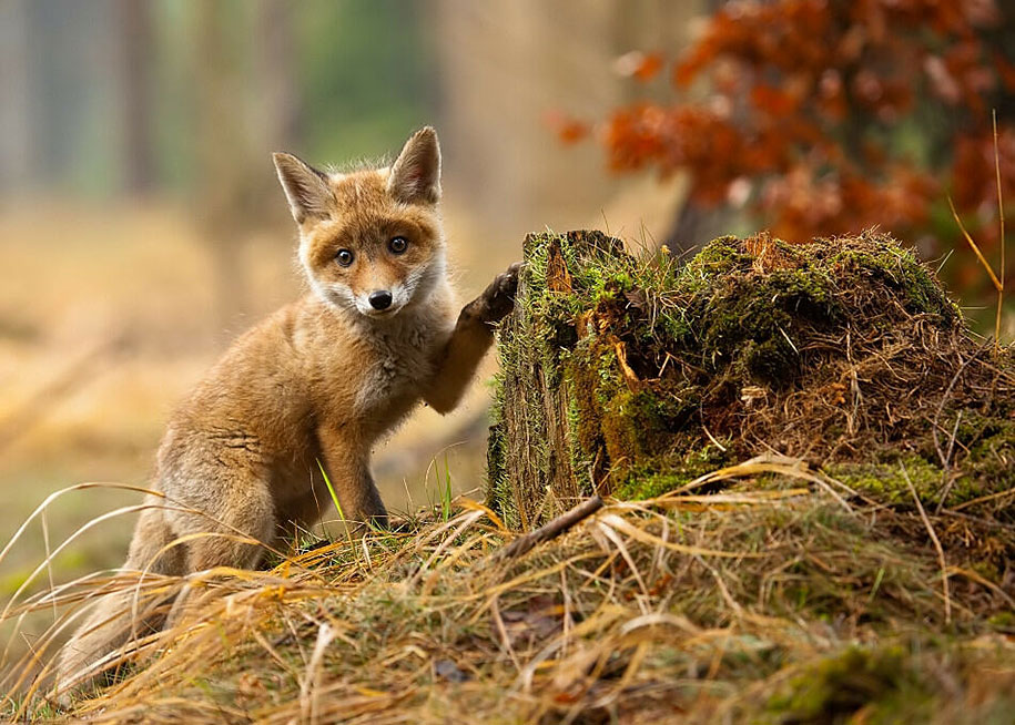 22 Breathtaking Wildlife Pictures Of Beautiful Foxes