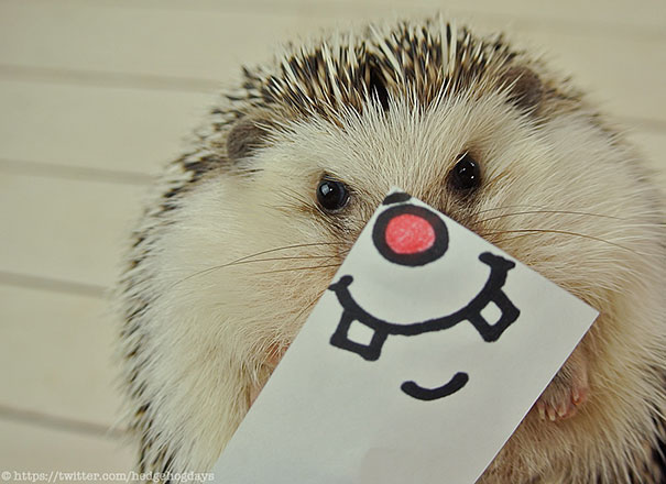 marutaro is the cutest hedgehog superstar on twitter