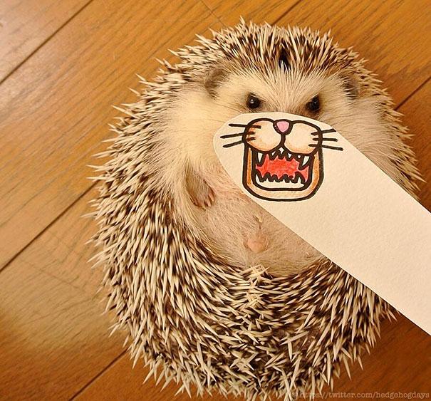 Marutaro Is The Cutest Hedgehog Superstar On Twitter