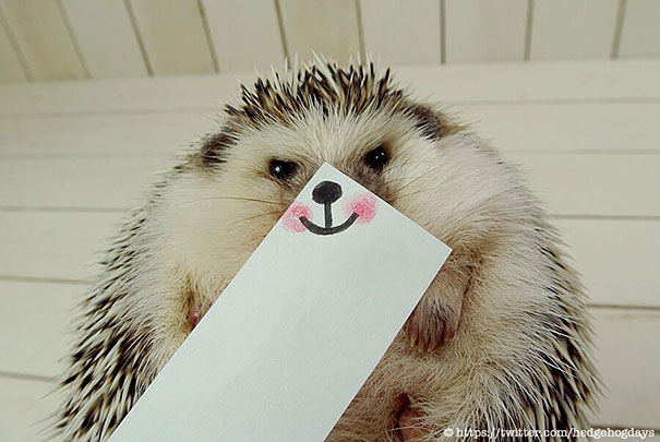 marutaro is the cutest hedgehog superstar on twitter. Black Bedroom Furniture Sets. Home Design Ideas
