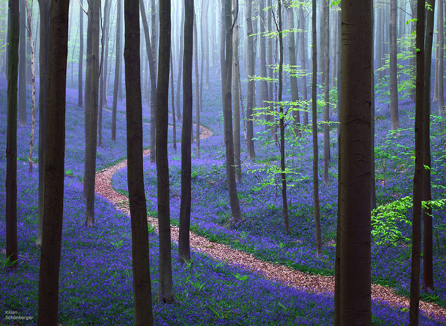 bluebell-forest-hallerbos-belgium-nature-photography-1