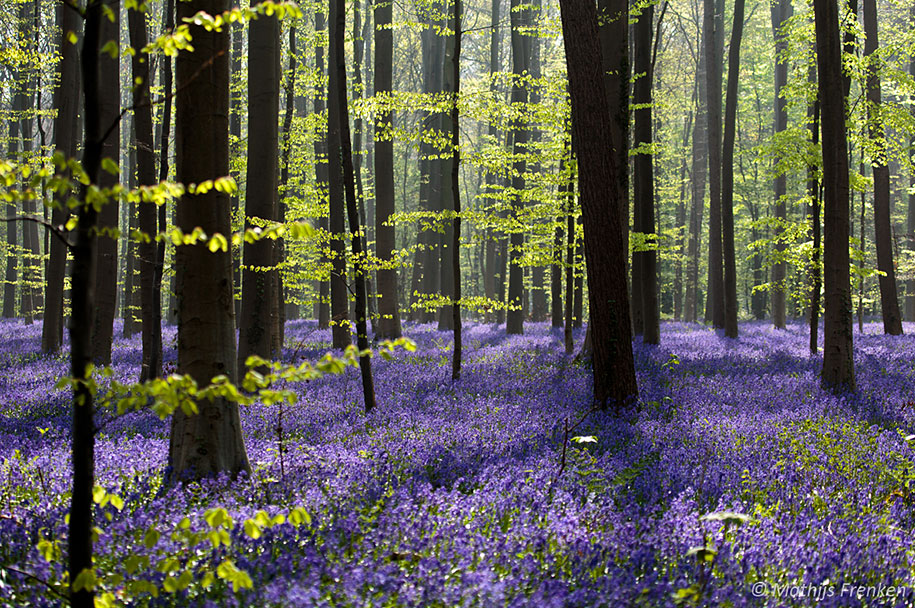bluebell-forest-hallerbos-belgium-nature-photography-10