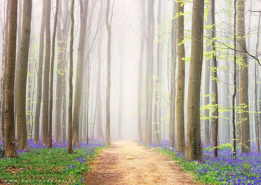 bluebell-forest-hallerbos-belgium-nature-photography-12