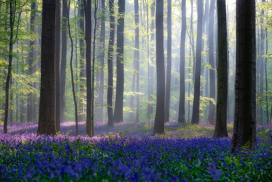 bluebell-forest-hallerbos-belgium-nature-photography-14