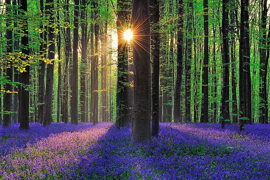 bluebell-forest-hallerbos-belgium-nature-photography-2