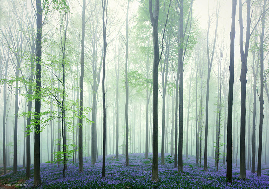 bluebell-forest-hallerbos-belgium-nature-photography-5