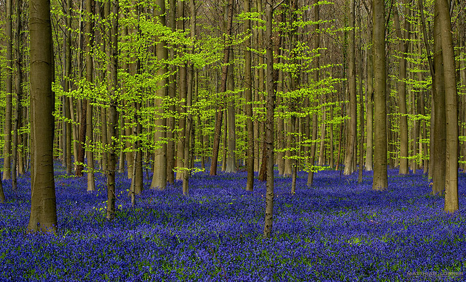 bluebell-forest-hallerbos-belgium-nature-photography-6