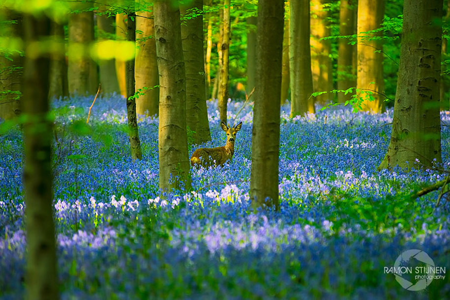 bluebell-forest-hallerbos-belgium-nature-photography-7