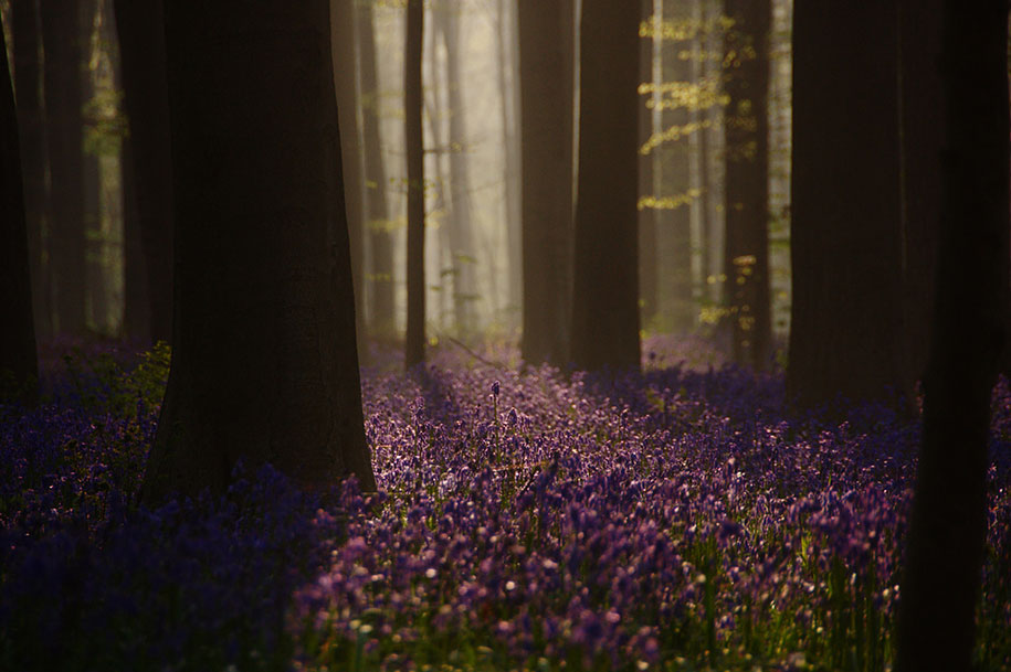 bluebell-forest-hallerbos-belgium-nature-photography-8