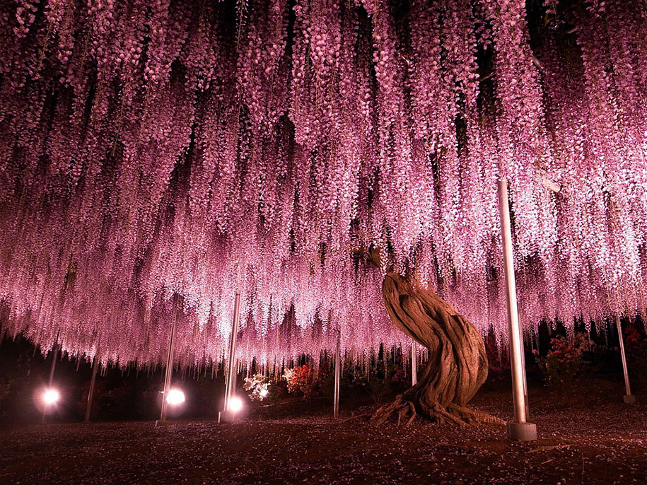 large-old-wisteria-bloom-japan-1