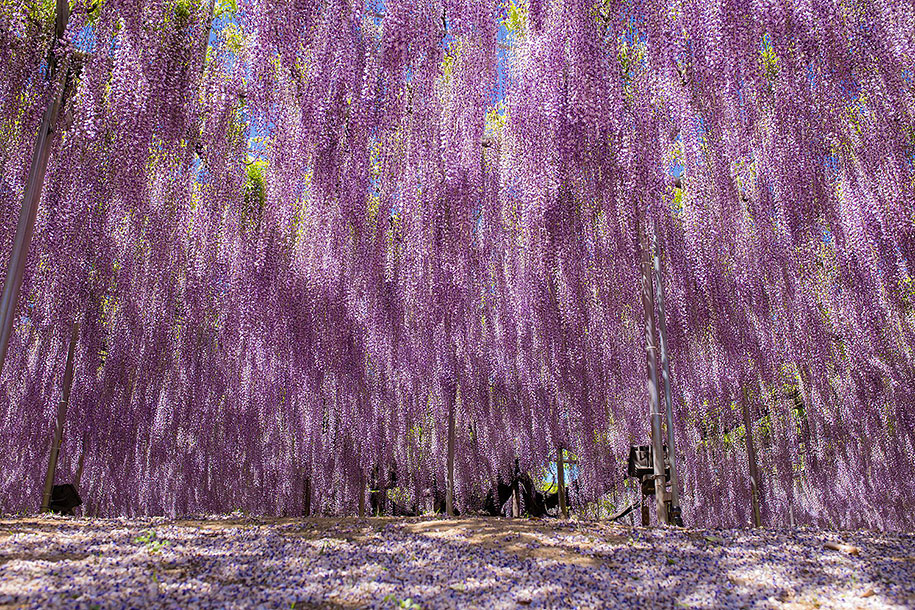 large-old-wisteria-bloom-japan-11