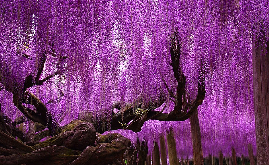 large-old-wisteria-bloom-japan-2
