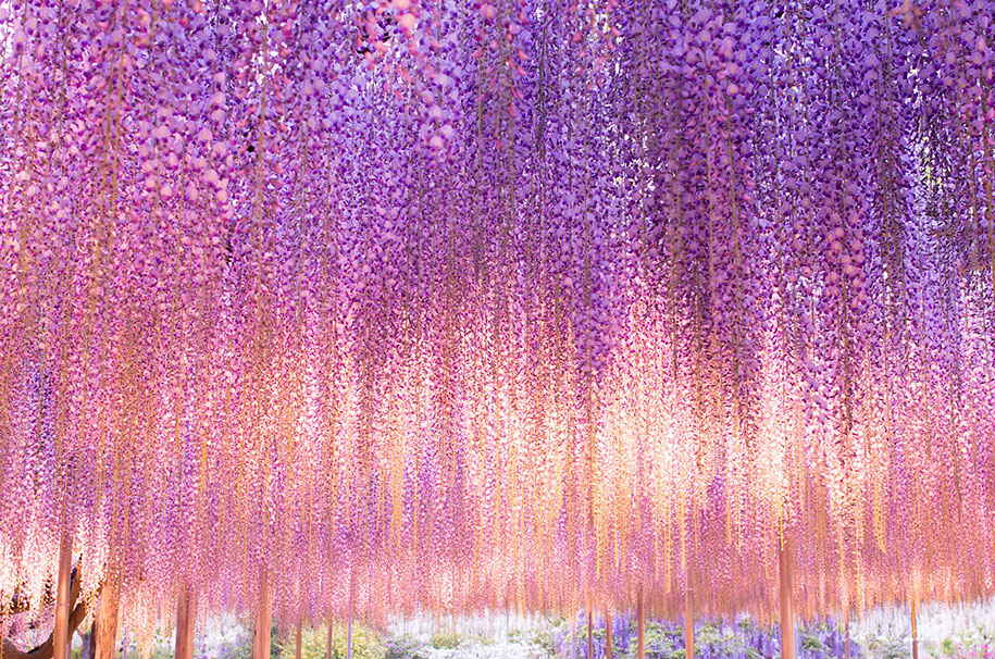 large-old-wisteria-bloom-japan-3