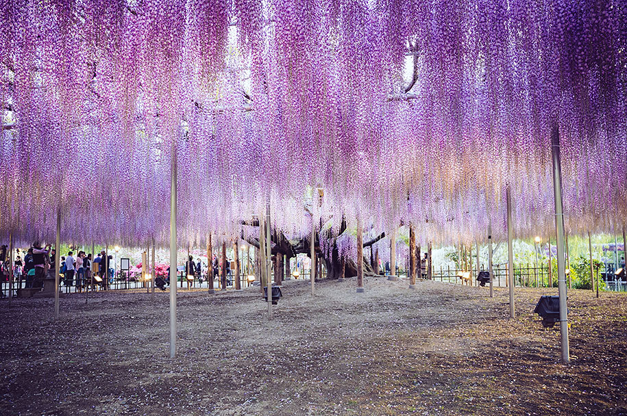 large-old-wisteria-bloom-japan-5
