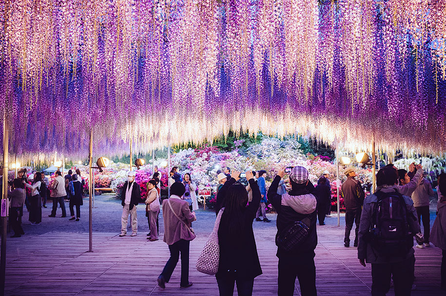 large-old-wisteria-bloom-japan-6