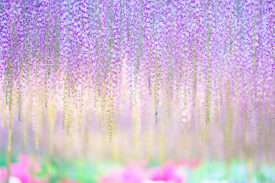 large-old-wisteria-bloom-japan-8
