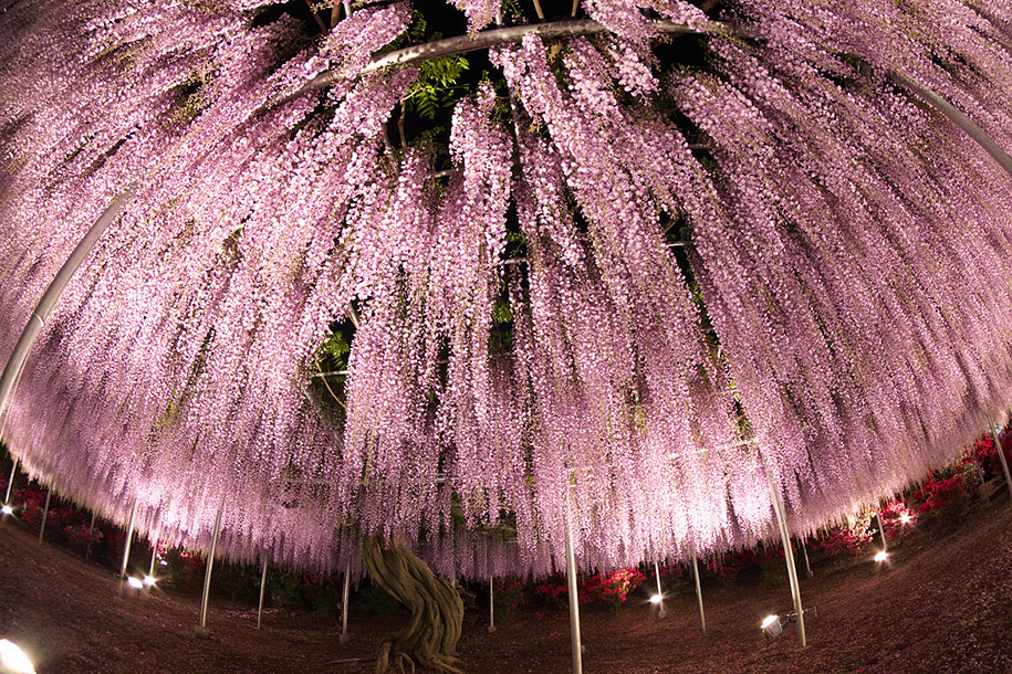 large-old-wisteria-bloom-japan-9