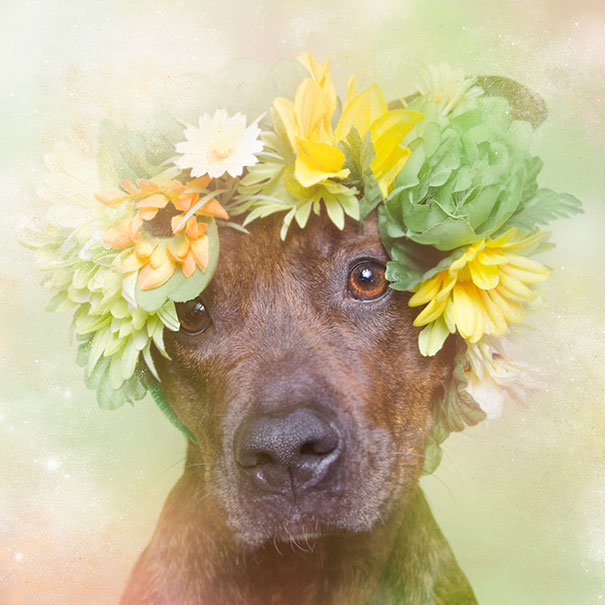 flower-power-pit-bulls-of-the-revolution-photography-sophie-gamand-4