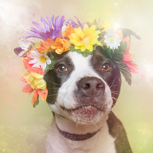 flower-power-pit-bulls-of-the-revolution-photography-sophie-gamand-6