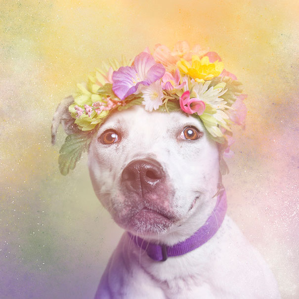 flower-power-pit-bulls-of-the-revolution-photography-sophie-gamand-8