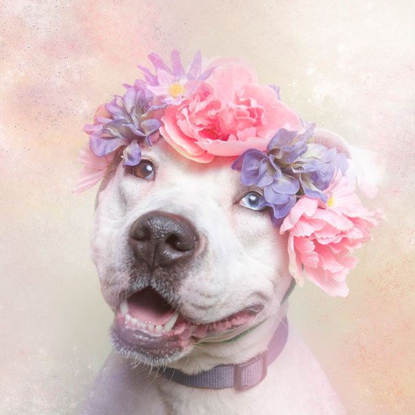 flower-power-pit-bulls-of-the-revolution-photography-sophie-gamand-9