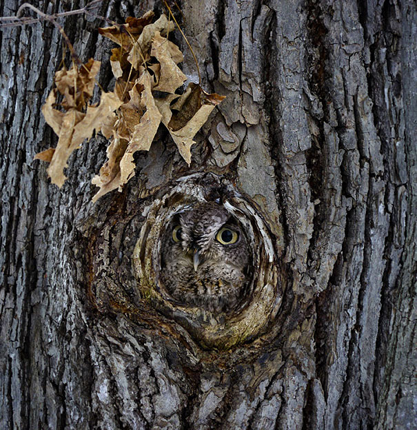 owls-comouflage-nature-photography-12