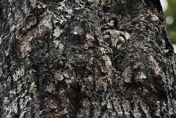 owls-comouflage-nature-photography-15