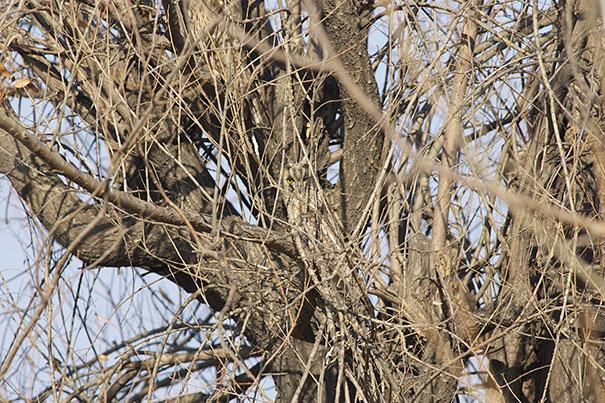 owls-comouflage-nature-photography-4