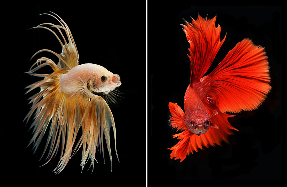 Hypnotizing Portraits Of Siamese Fighting Fish By Visarute ...