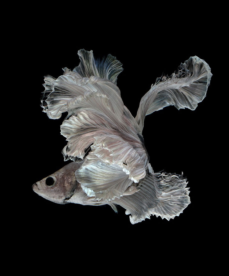 siamese-fighting-fish-photography-visarute-angkatavanich-26